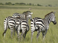 SKSN-002: 4 Days Lake Nakuru/Masai Mara Budget Safari