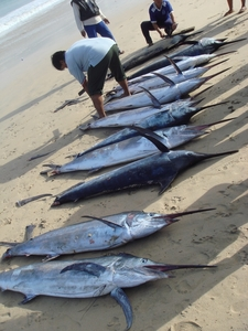 Morning Catch Of Marlin At Jimbaran
