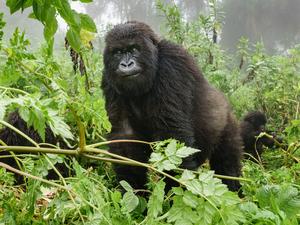 Gorilla Trekking Safari in Bwindi National Park Uganda Fotos