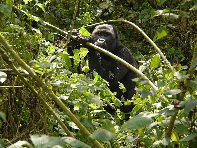 Savanna Wildlife and Mountain Gorillas Tour Photos