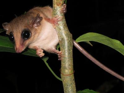 Mouse  Possum Tambopata  Reserve  Peru