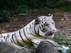 Nandan Kanan White Tiger Safari