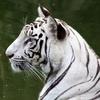 White Tiger At Delhi Zoo