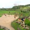 New Giraffe Exposition