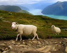 Norway Sheep And Landscape