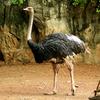 Ostrich At Dusit Zoo