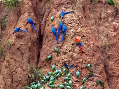 Parrots At A Clay Lick Tambopata  National  Reserve