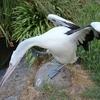 Pelican @ Wellington Zoo NZ