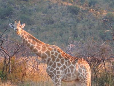 A Giraffe In Pilanesberg Game Reserve