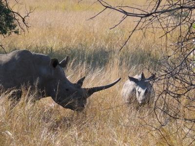 A Pair Of White Rhinoceroses In Pilanesberg