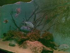 Red Lionfish (Pterois Volitans) In Dehiwala Zoo Aquarium