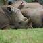 Rhinoceros In Tanzania