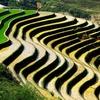 Sapa - Rice Cultivation In Vietnam