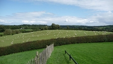 Sheep By Newgrange