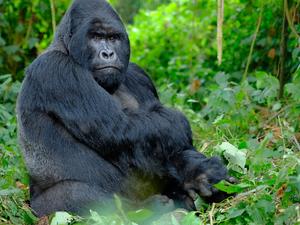 Gorilla, Chimps and Big Game Combo Fotos
