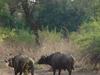 Buffalo In South Luangwa