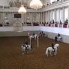 Lipizzan Stallions In The Winter Riding School Arena.