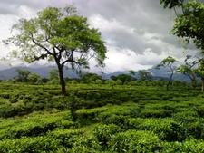 Tea Gardens At Dooars