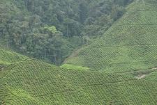 Tea Plantation At Cameron Highlands