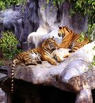 The Si Racha Tiger Farm