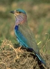The State Bird, Indian Roller