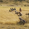 The Teff Harvest @ Northern Ethiopia