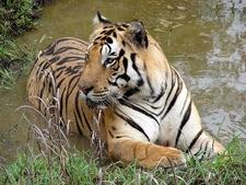 The Majestic Indian Tiger At Kanha