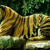 Tiger At Dusit Zoo