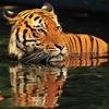 Tiger In Kuala Lumpur National Zoo