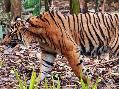 Sumatran Tiger At The Melbourne Zoo
