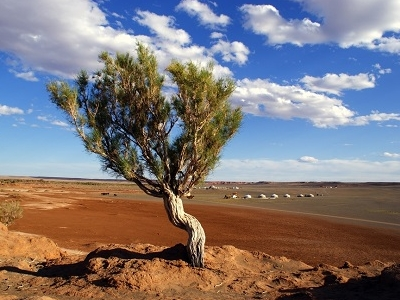 Tree In Gobi Desert In Mongolia