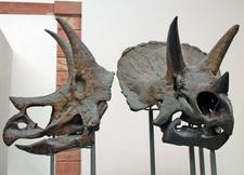 Triceratops Skulls