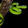Trimeresurus Vogeli Snake