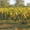 A Vine In Brem