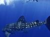Whale Shark In Utilas Honduras