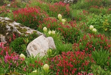 Wild Flowers Near Hemkund Sahib UT