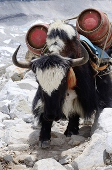 Yak Carrying LPG Cylinders