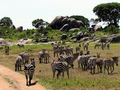 Zebras At Serengeti National Park