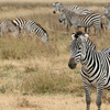 Zebras In Ngorongoro Crater