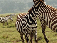 Zebras - Amboseli National Park