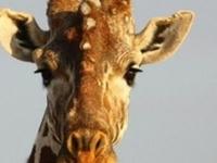 13 Days Kenya and Tanzania Safaris to Nairobi, Lake Naivasha, Maasai Mara, Lake Nakuru, Samburu Game Reserve, Aberdare National