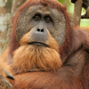 ORANGUTAN ADVENTURE IN NORTH SUMATRA