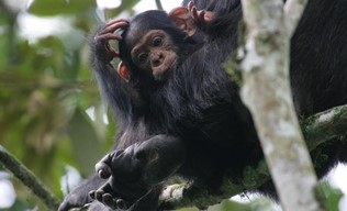 Chimpanzee & Big 5 Photos