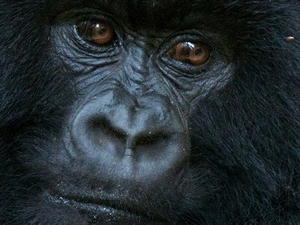 Special Gorilla Trek in the Virunga National Park Fotos