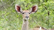 Female Kukdu