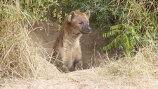 Hyena Coming Out Of Culvert