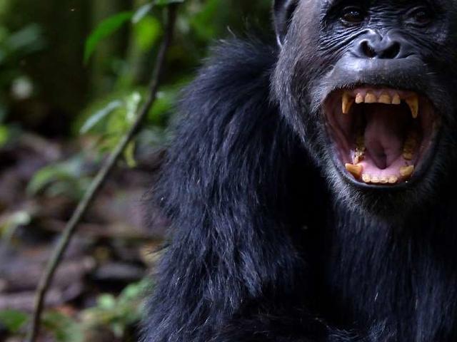 Rwanda Primate Safaris Photos