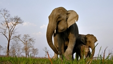 A Female Elephant With Two Young Kaziranga National Park In North East India 1240x698