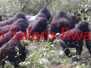 The Gorillas Valentine Escapade