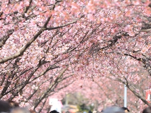 Japanese Cherry Blossom Season Tour